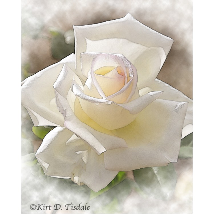 White Rose Bloom In Watercolor