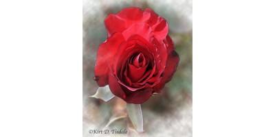 Red Rose Bloom In Watercolor