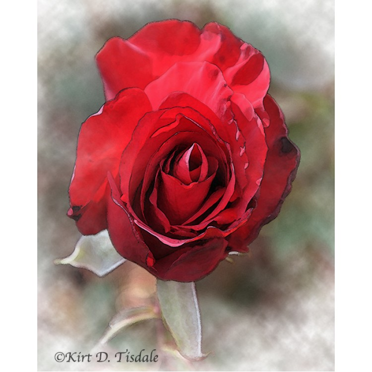Red Rose Bloom In Watercolor