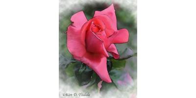 Red Rose Bud In Watercolor