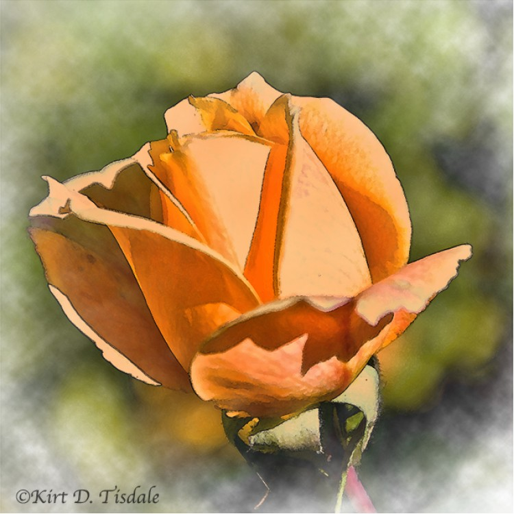 Peach Rose Bud In Watercolor