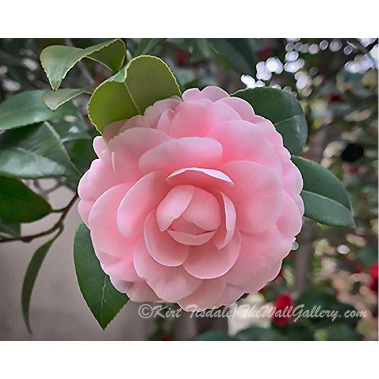Camellia Soft Pink Bloom