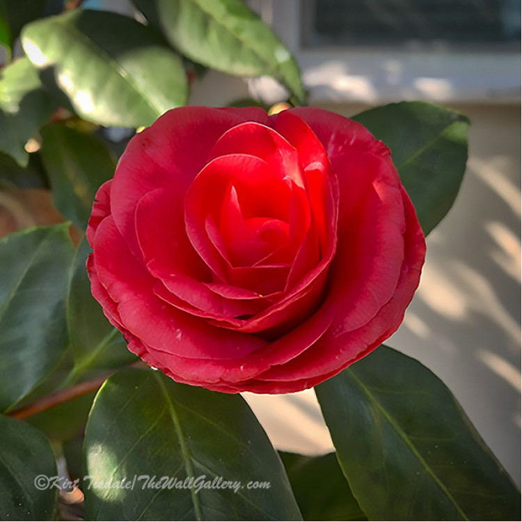 Red Camellia Bloom