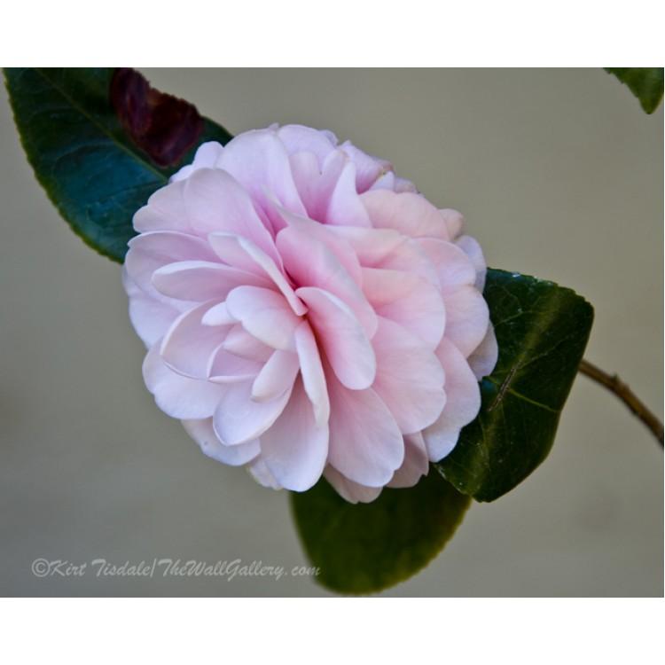 Soft Pink Floral