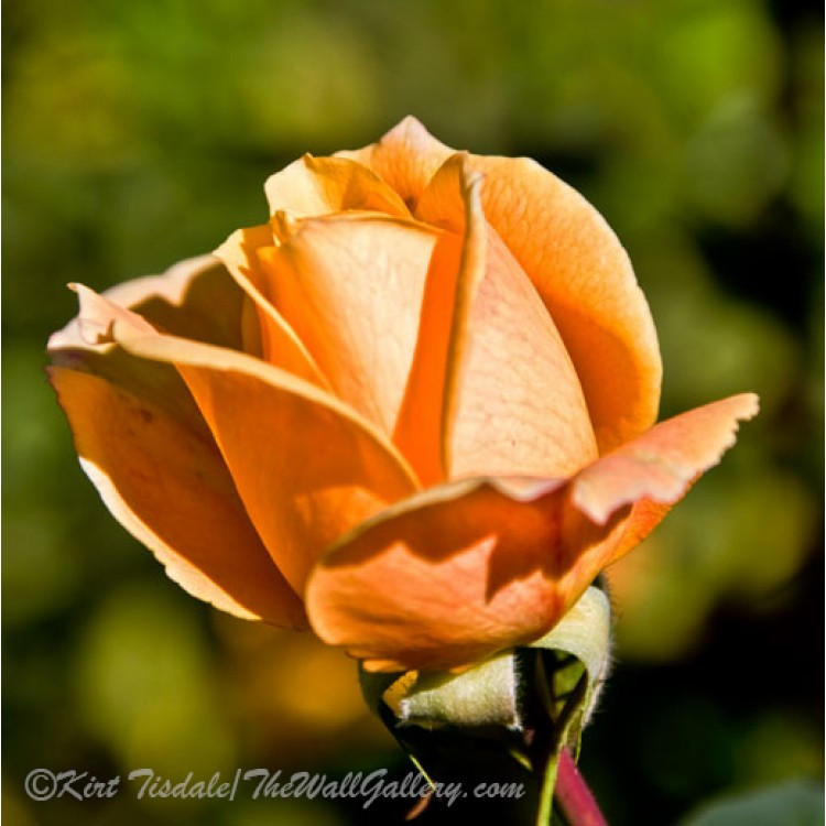 The Unfolding Of A Pink Rose Bud