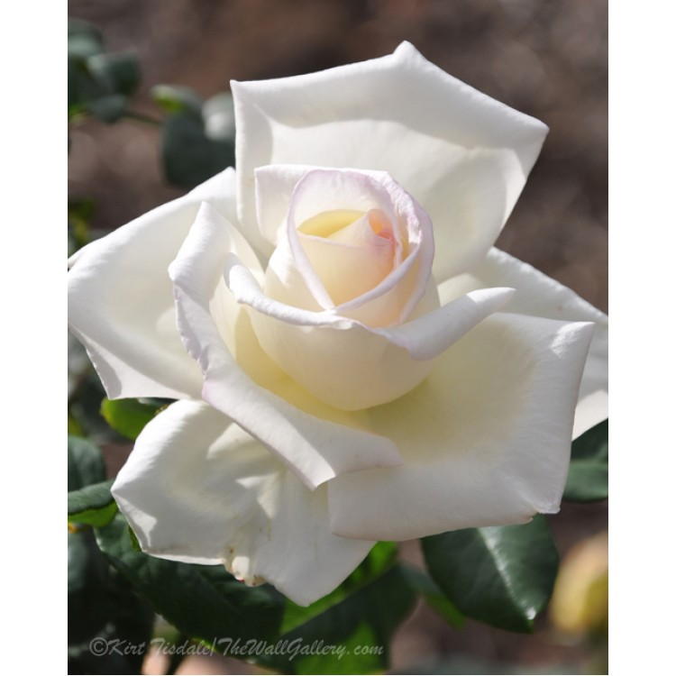 Soft White Rose Bloom