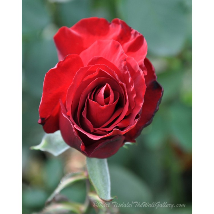 Deep Red Rose Bloom