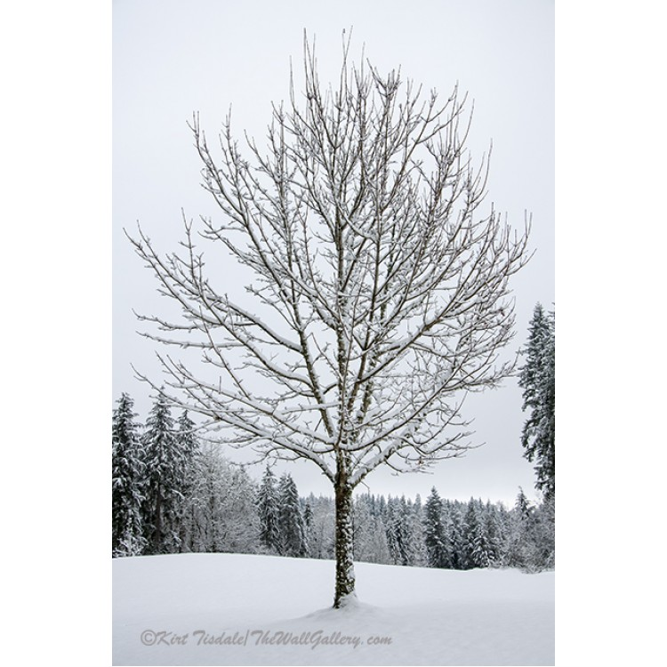 Lone Snow Covered Tree