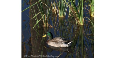 The Duck On The Pond At Papago Park