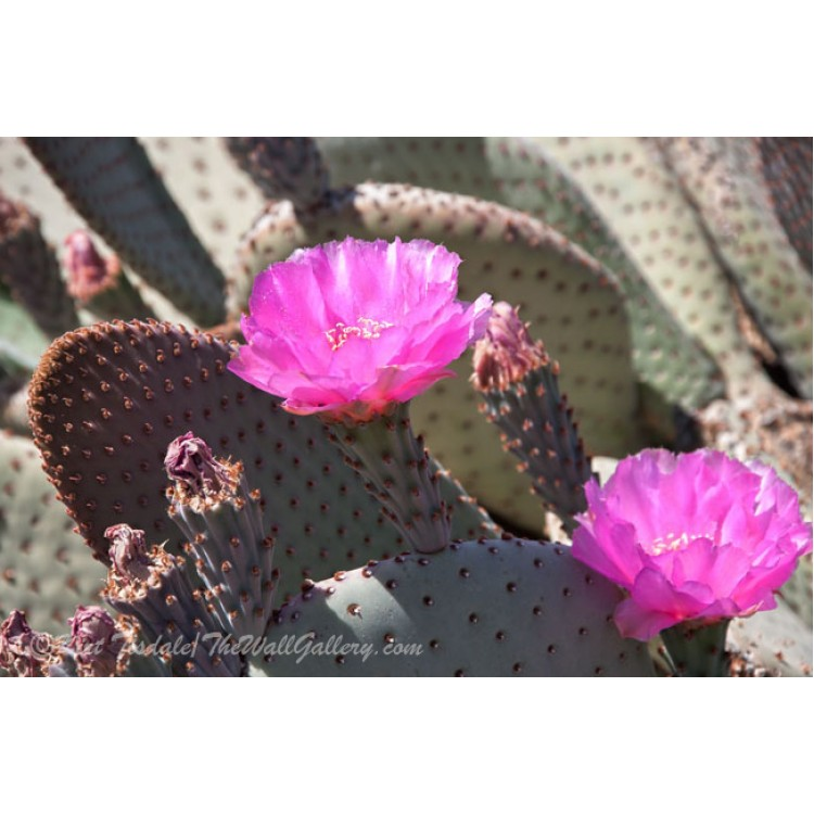 Dual Purple Cactus Blooms