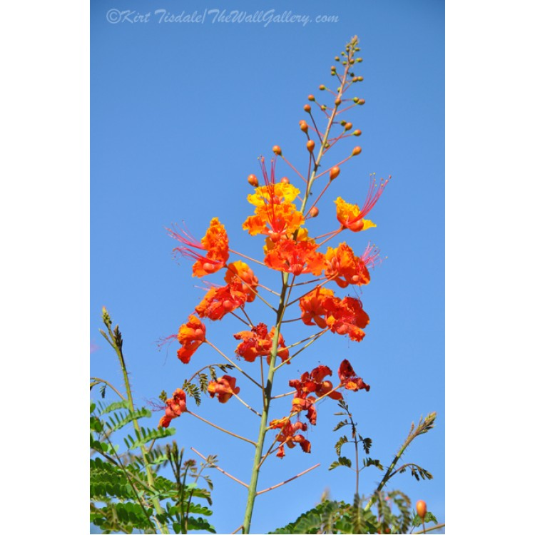 Mexican Bird Of Paradise Bloom