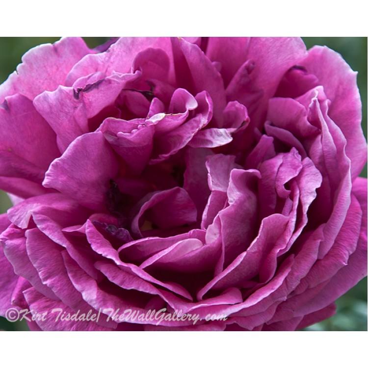 Full Purple Rose Bloom