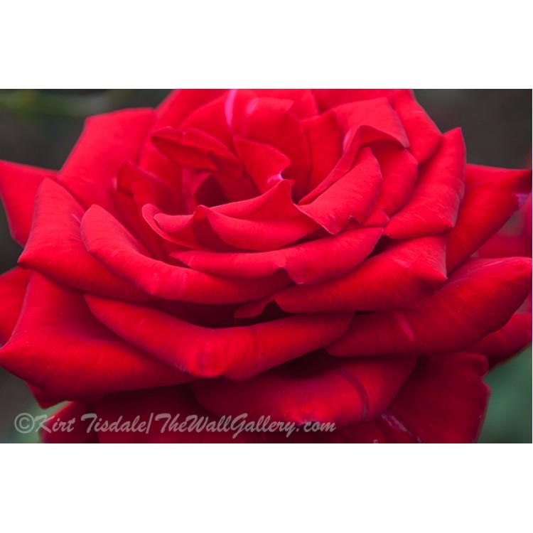 Full Red Velvet Rose Bloom