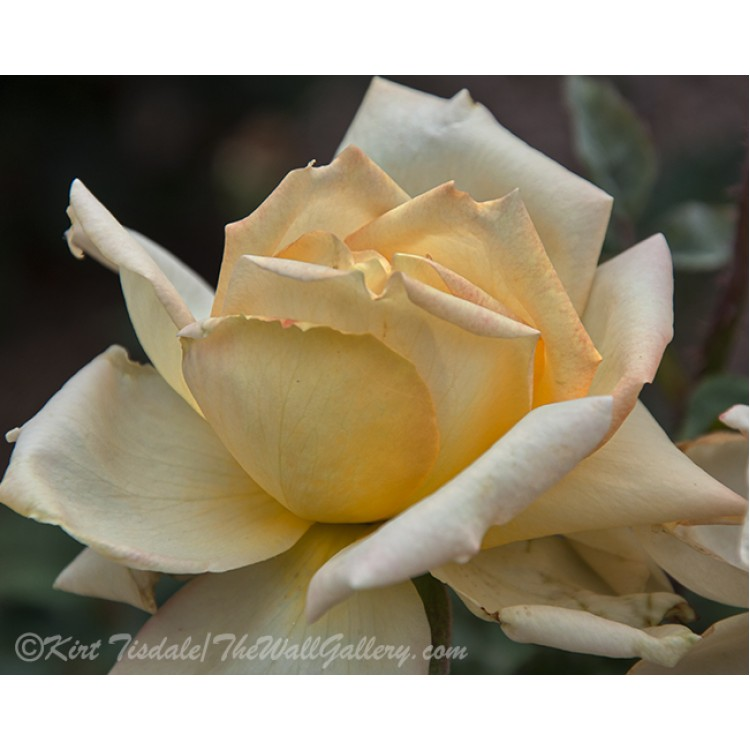The Unfolding Of A Pale Yellow Rose Bud