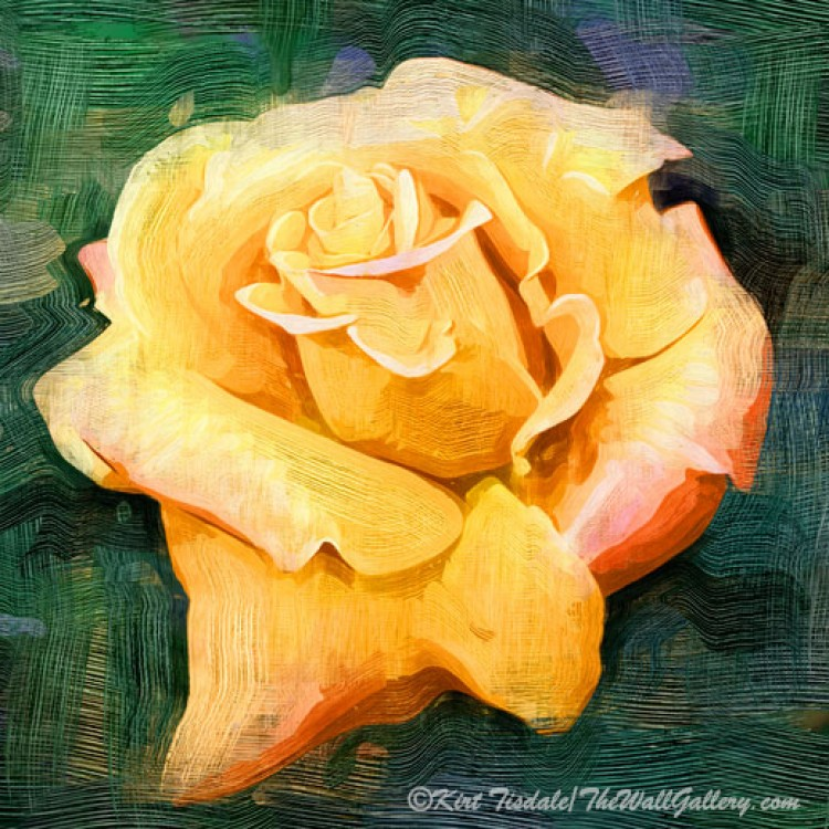 Yellow Rose Bloom In Oil