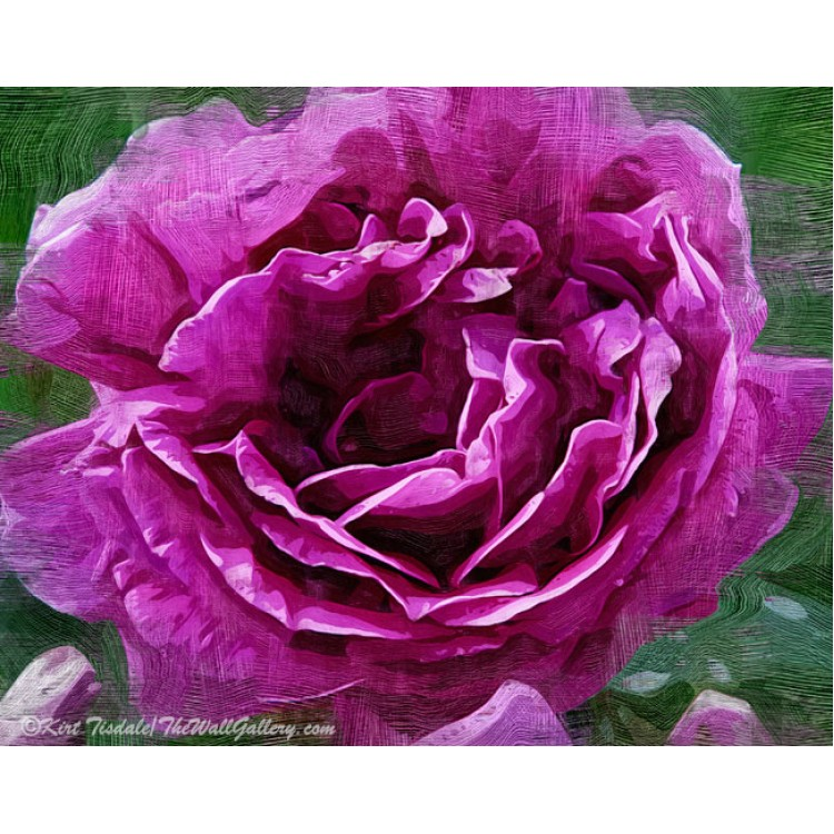 The Rose Blooms Purple