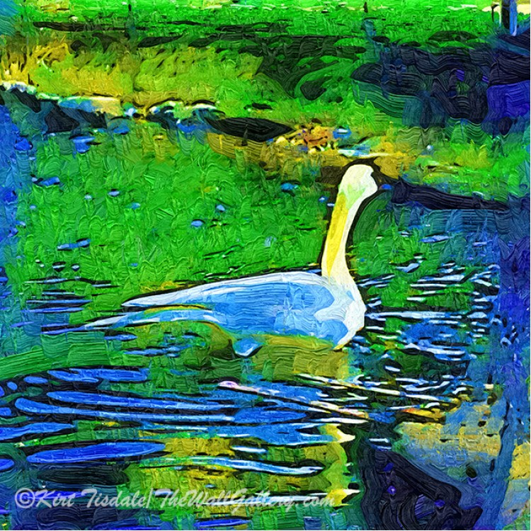 Lone Swan In Pond