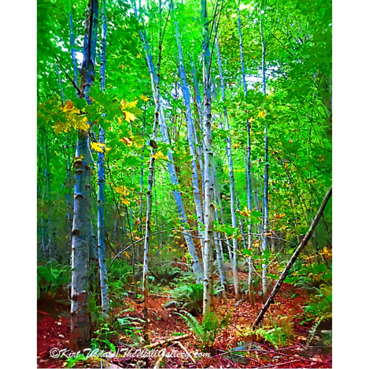 A Stand Of Birch Trees